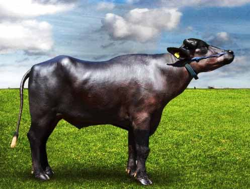 ABS REDHU – Best Murrah Bull in India - Genus ABS India
